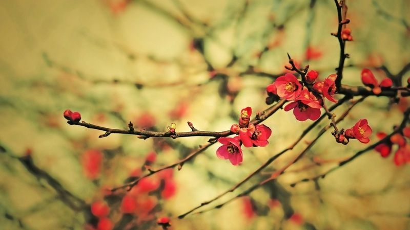 I Chose This Picture Because It Represents The Principle Of Emphasis Through Depth The Flowers In The Foreground Are Spring Wallpaper Red Blossoms Red Flowers