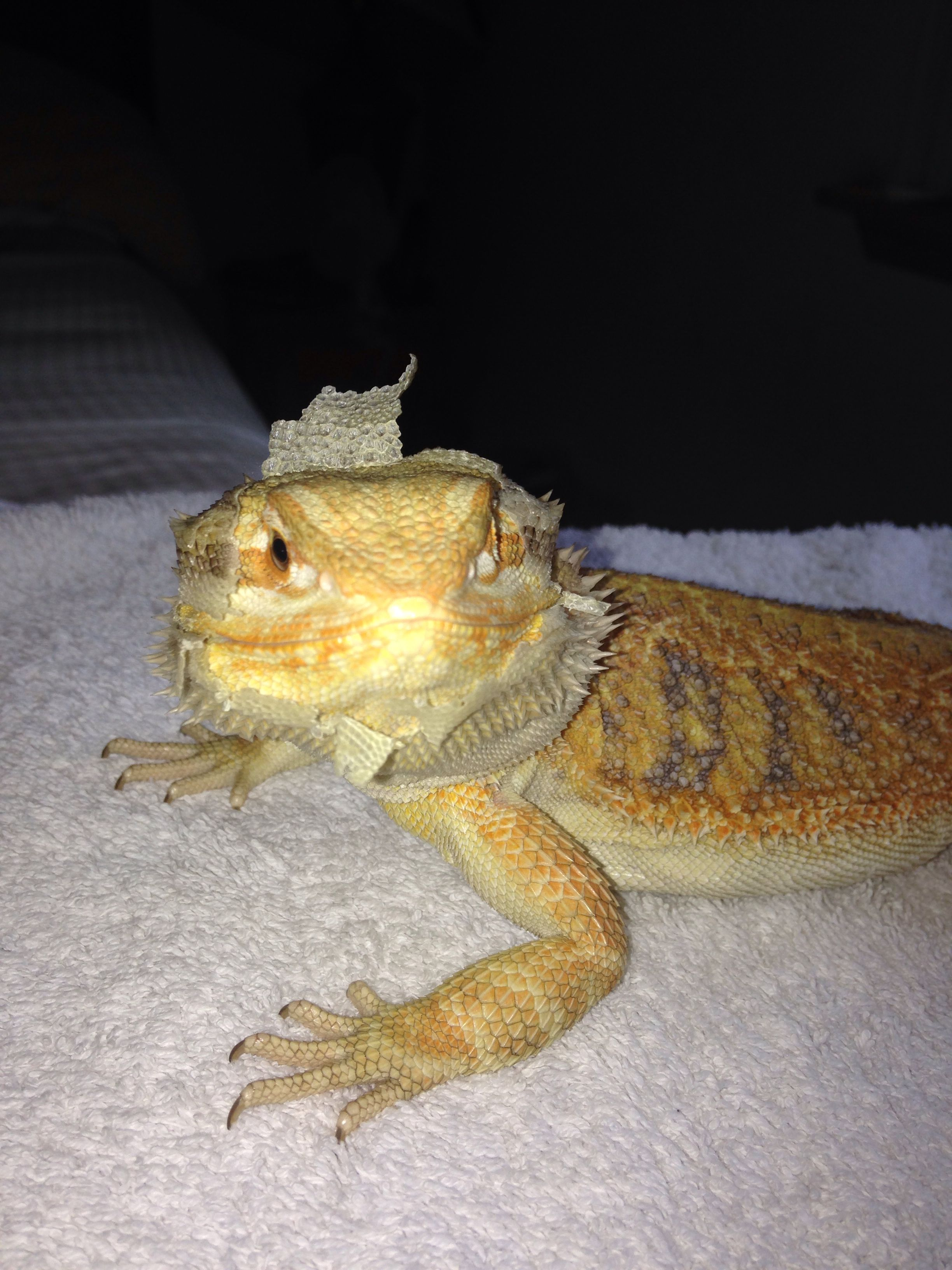 Our 7 Month Old Bearded Dragon Gizmo Shedding His Face He S So