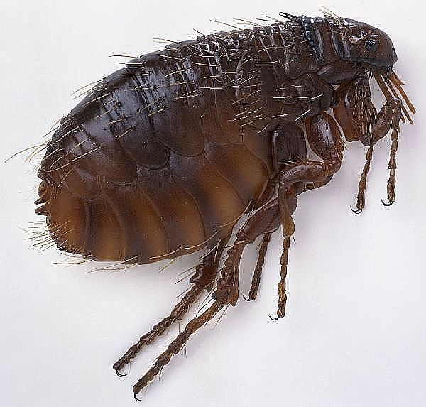How To Get Rid Of Fleas In Your Carpet With Borax And White Vinegar Hunker Natural Flea Remedies Flea Remedies Dog Shampoo