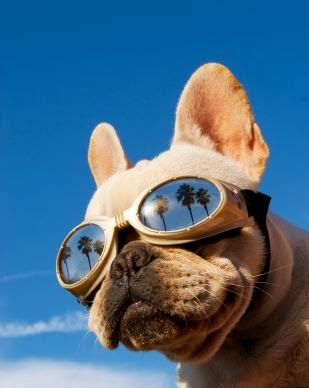 My Dog Has Some Of These Goggles Doggles Bulldog French