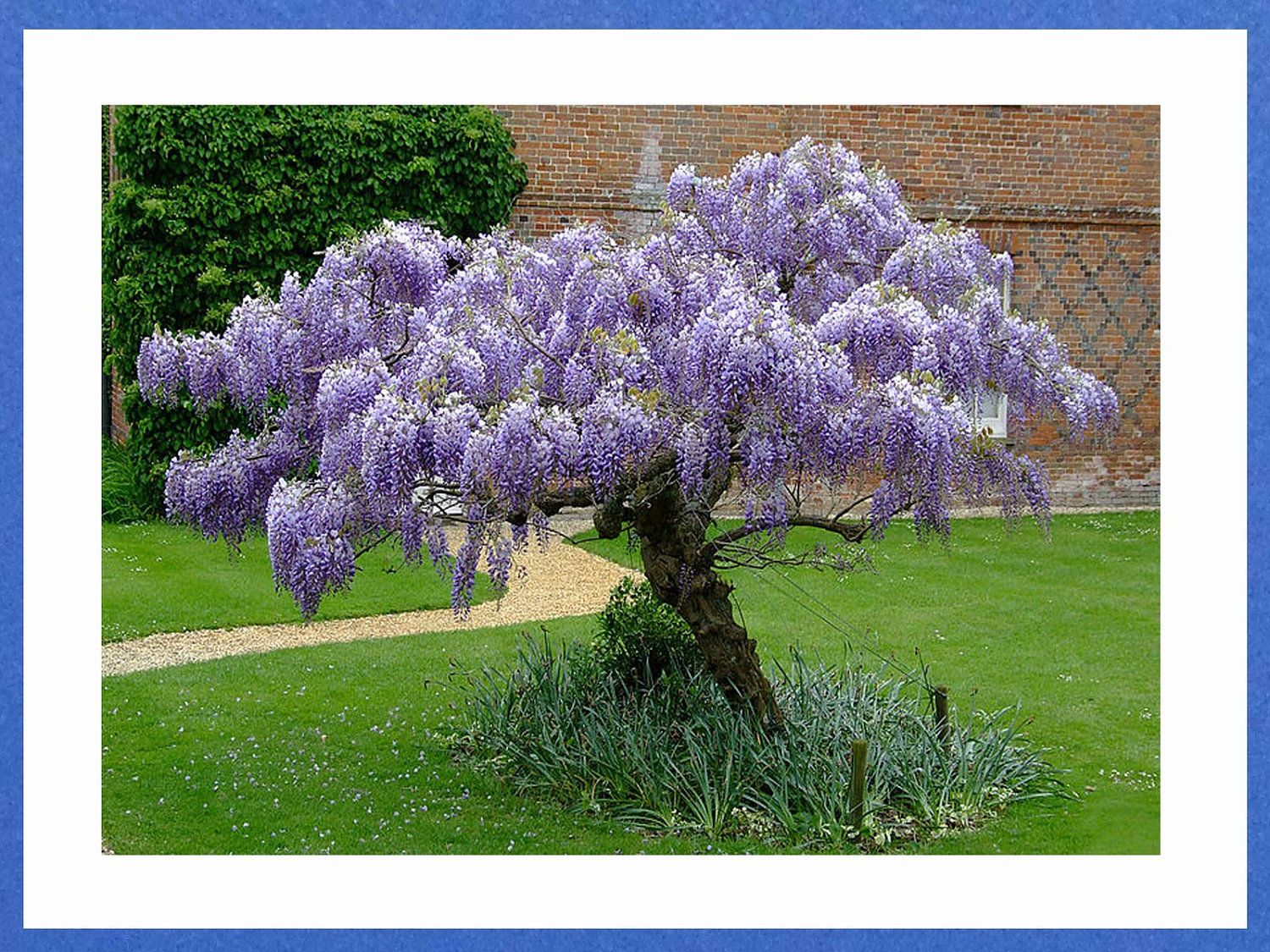 Chinese Wisteria Vine Very Fragrant Grow as a Bonsai by CheapSeeds ...