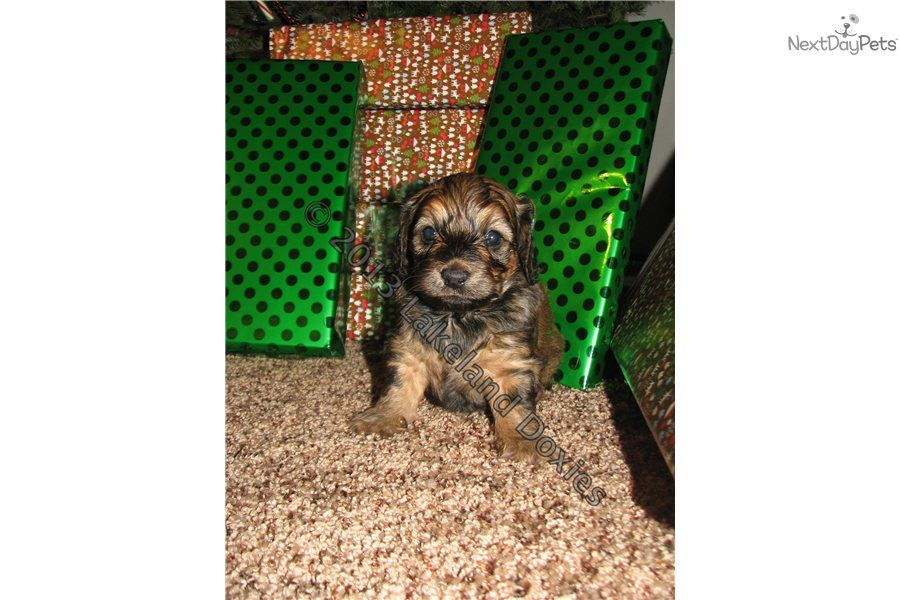 You Ll Love This Female Dachshund Puppy Looking For A New Home