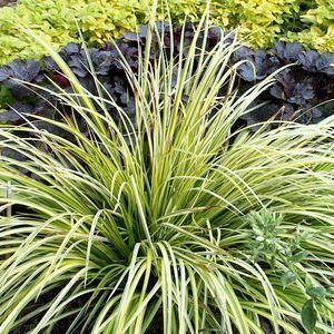 Buy acorus ogon ornamental grass online garden crossings for Variegated grass plant