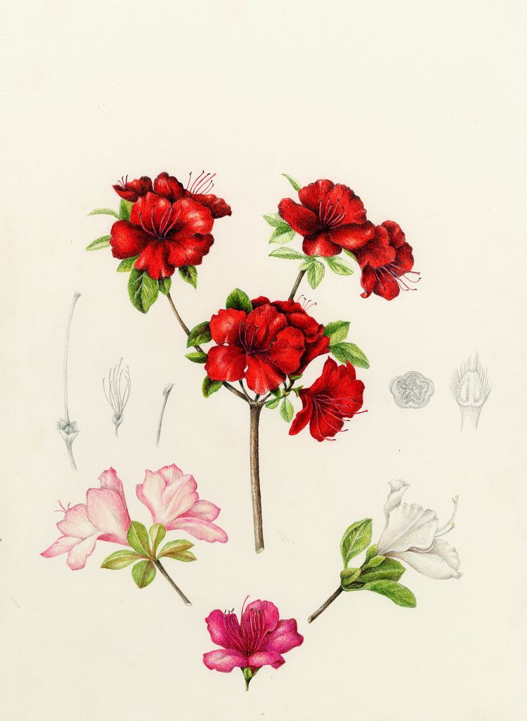 Azalea Rhododendron Azalea Flower Botanical Illustration Botanical Drawings