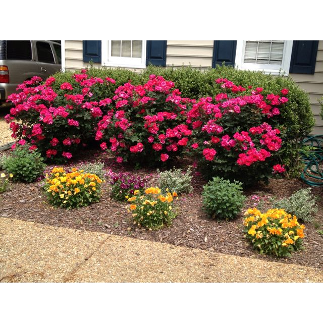 Knockout Roses If You Think You Can T Grow Roses These Are The Ones For You They Bloom All Summer Garden Front Of House Rose Garden Design Home Landscaping