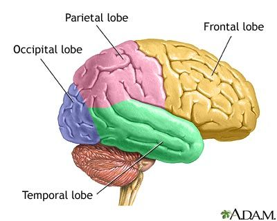 Frontal Lobe Diagram.The Four Lobes Of The Brain Back To School Brain Lobes