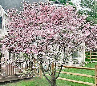 Stellar Pink Dogwood Tree 25 Dogwood Trees Pink Dogwood Pink