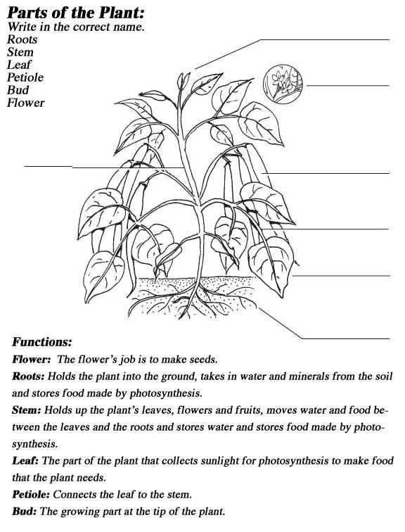 Label The Parts Of A Plant Parts Of A Plant Plant Activities