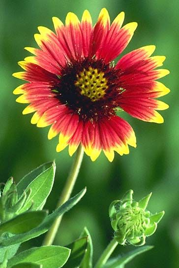 Blanket flower full sun a bright and happy flower perennial blanket flower full sun a bright and happy flower perennial mightylinksfo