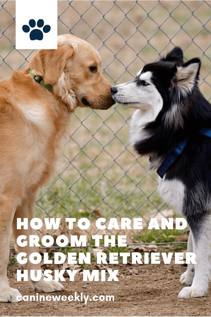 Getting To Know The Golden Retriever Husky Mix Aka Goberian