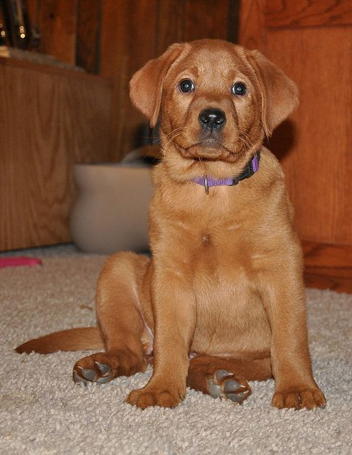Fox Red Lab Puppy At Red Moon Labs Welpen Labrador Retriever