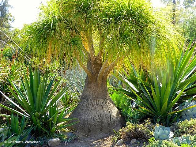Fullerton Arboretum in Southern California. Photography by Charlotte Weychan Source: The Galloping Gardener
