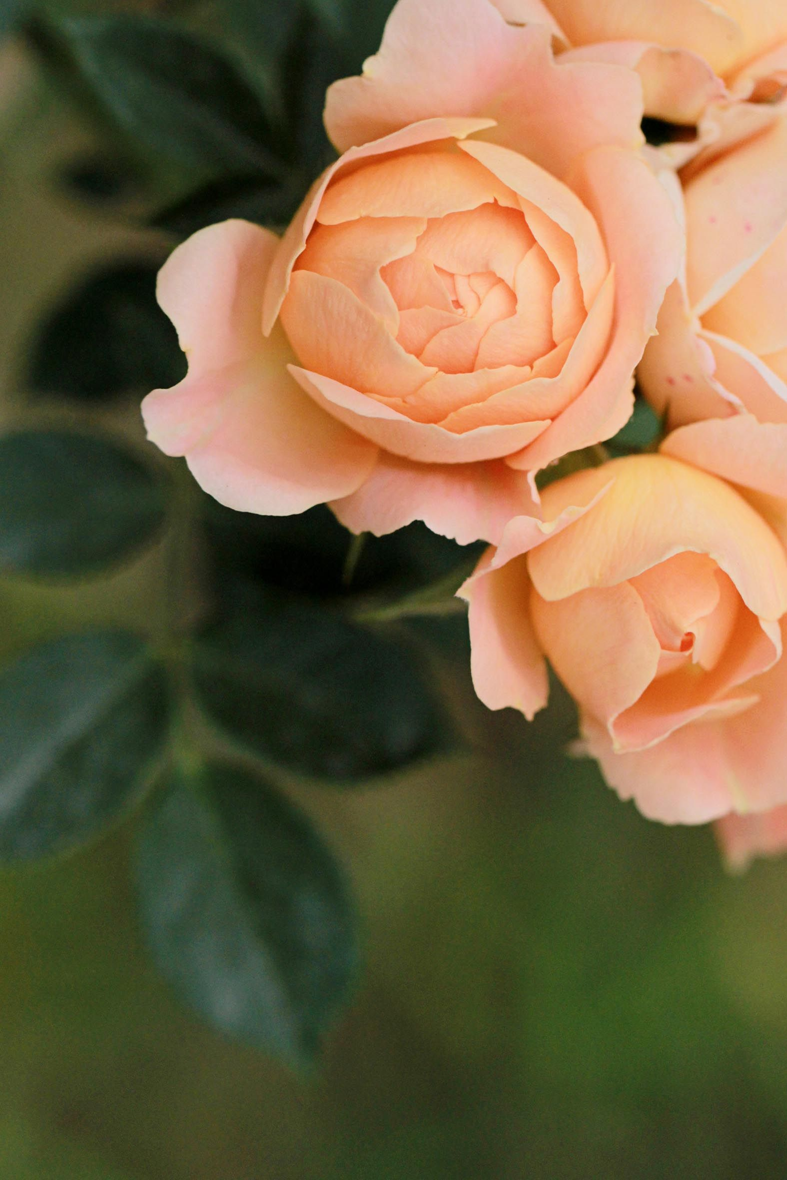 China Rose Beautiful Flower Arrangements Beautiful Roses Different Kinds Of Flowers