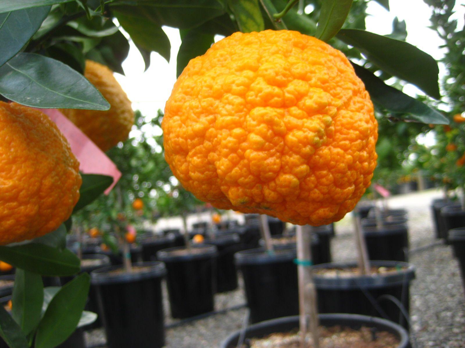 Gold Nugget Semi Dwarf Mandarin Tree Patented Mandarin Tree Citrus Trees Gold Nugget