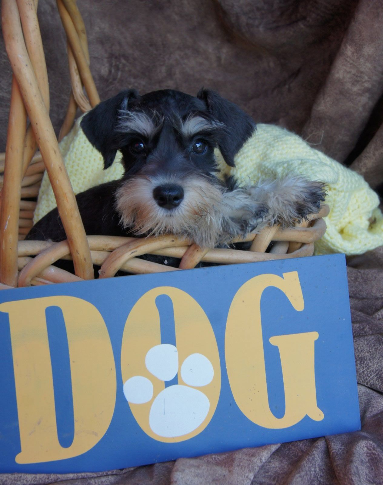 Black and Silver Miniature Schnauzer puppies for sale ...