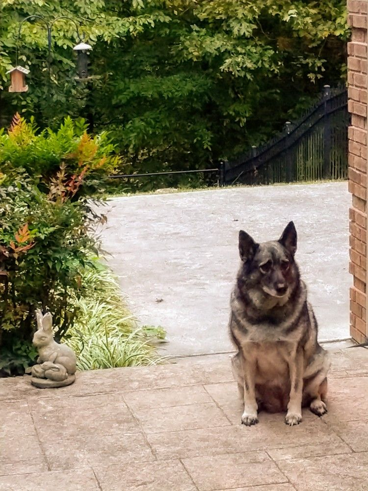 Pin By Lisa Bryant On Wolves And Elkhounds Dogs Animals Husky