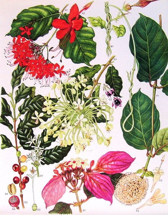 1970 Vintage Botanical Print Verbena, Arabian Coffee, African Peach p61