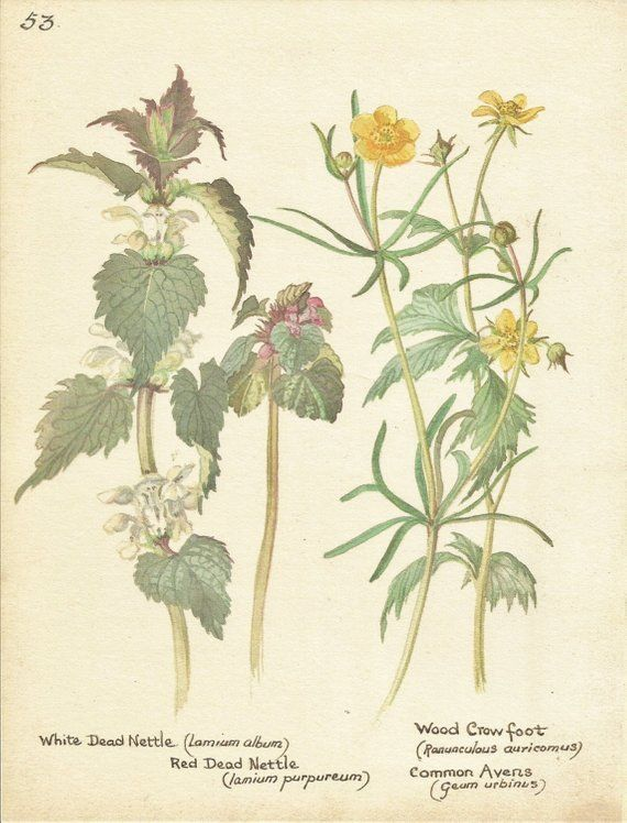 Flower Print - Nettle - Crowfoot - Vintage Botanical Book
