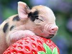 TEACUP PIG!!!!!!! Want. Need. Must. Have.