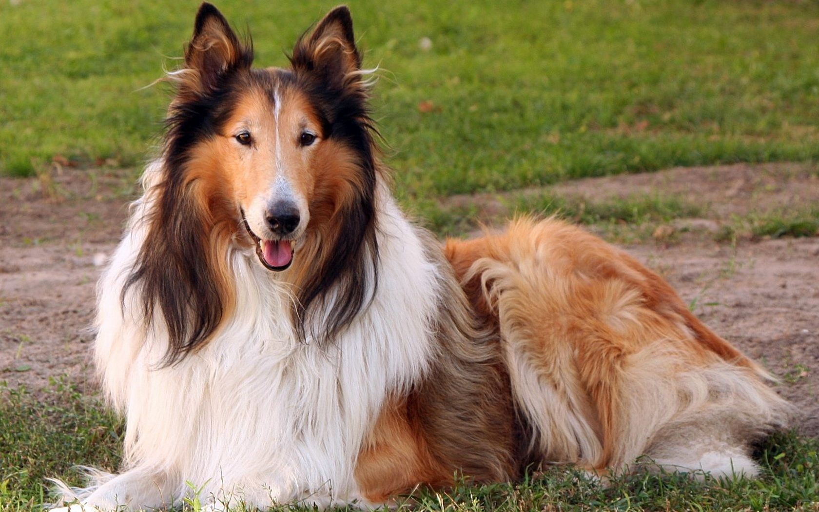 Collie Collie Puppies Collie Puppies For Sale Dog Breeds
