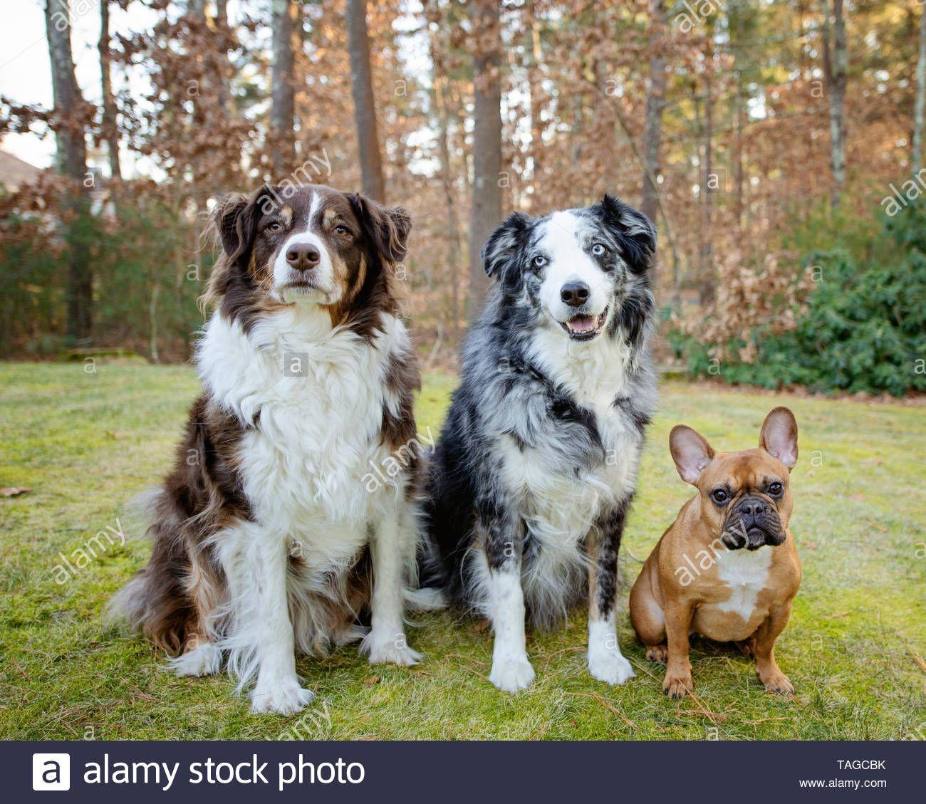 77+ Blue Merle French Bulldog Puppy in 2020 Bulldog