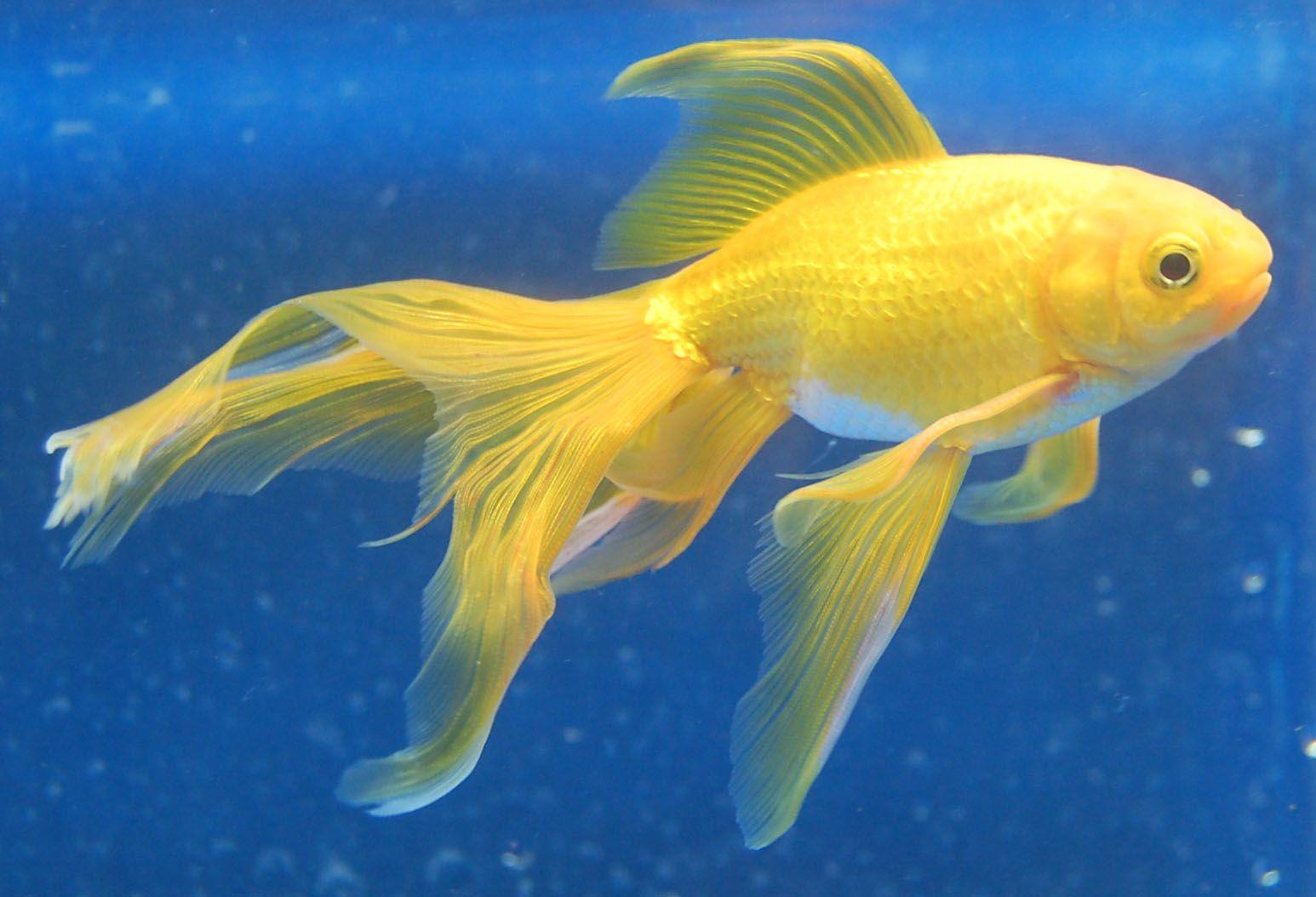 Watunai Goldfish Cool Fish Fantail Goldfish Aquarium Fish