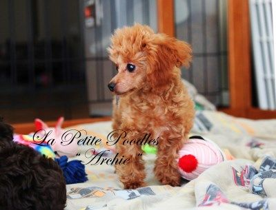 Fun With Our Poodle Puppies At La Petite In Texas Cute Dogs