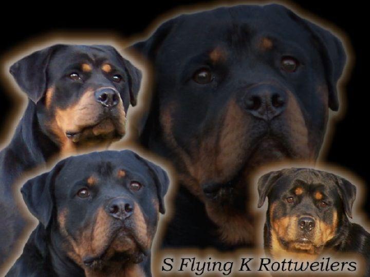 Akc Rottweiler Puppies For Sale North Dakota Rottweiler Puppy