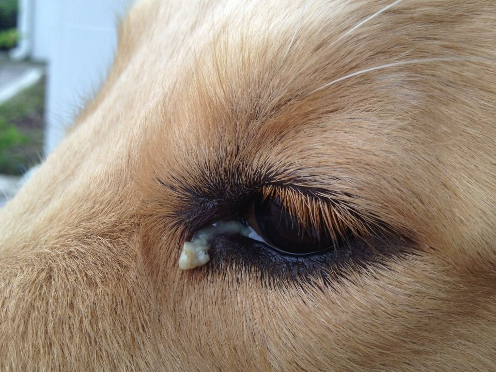 Read About Dog Eye Discharge And Learn About Causes Treatment Options Home Remedies Including Natural Ones And When To Dog Treatment Dog Eyes Dog Remedies