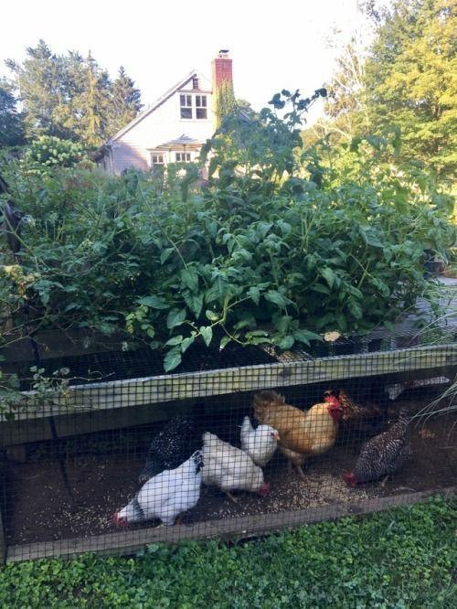 45 Unique Chicken Run Ideas For Garden Chickens Backyard