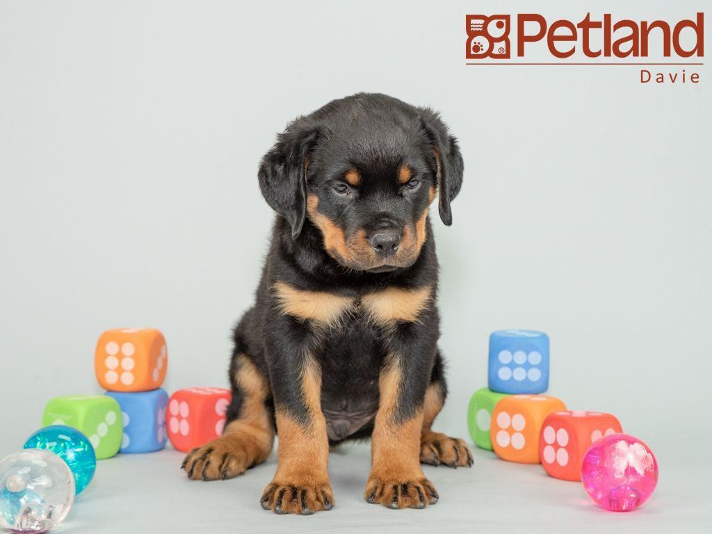 Petland Florida has Rottweiler puppies for sale