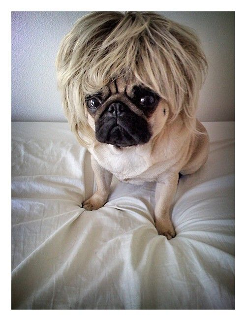 Good Morning Here Is A Picture Of A Pug Wearing A Tiny Tina