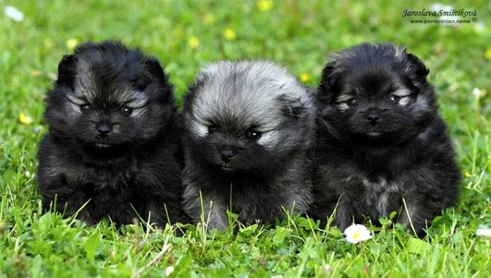 Very Young Keeshond Puppies With Their Ears Still Cupped Like