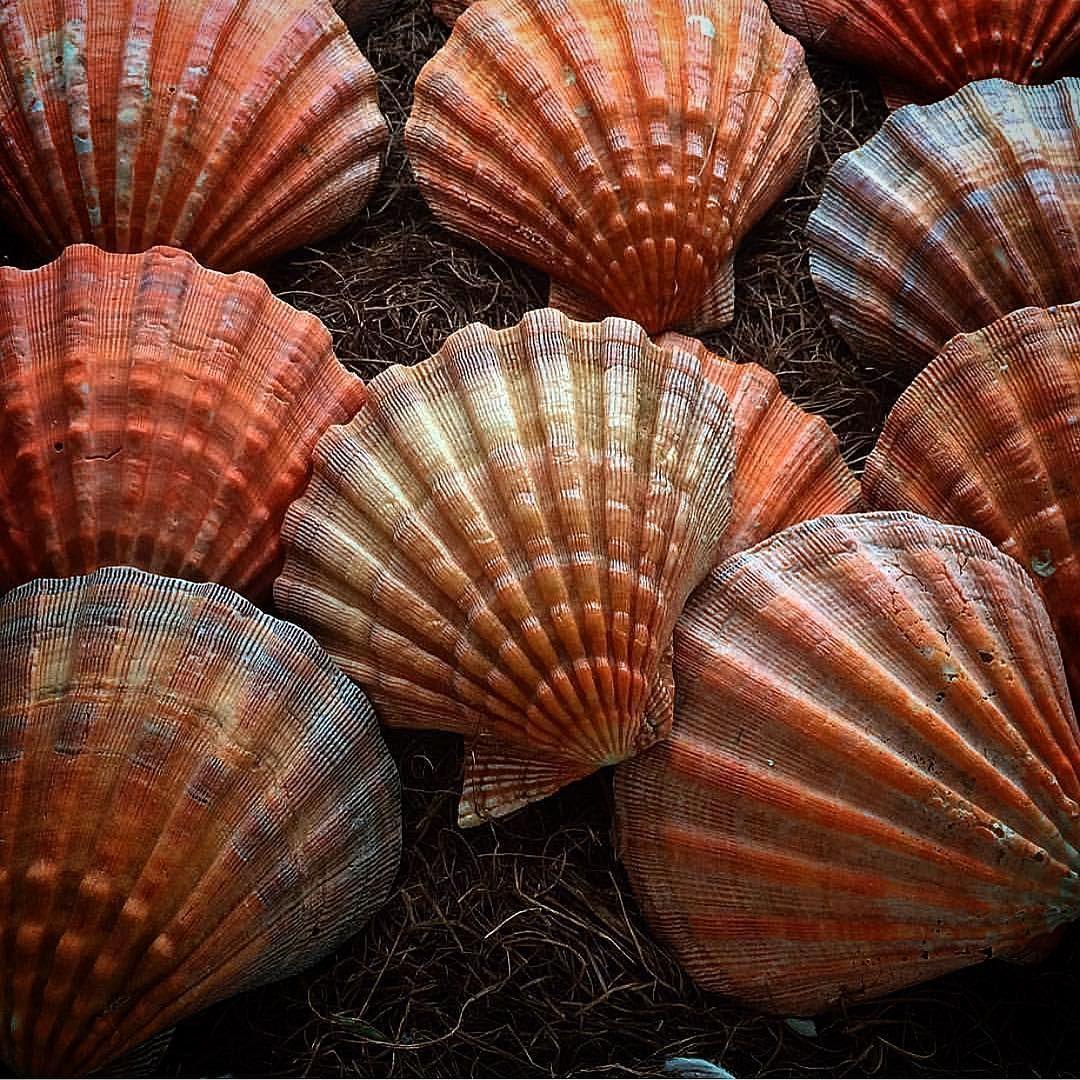 Pin By Melissa Considine On Scallop Shells Scallop Shells Shells Sea Life