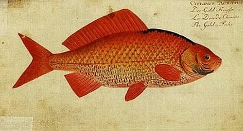 M.E. Bloch From Bloch's National History of Fish 1785-87