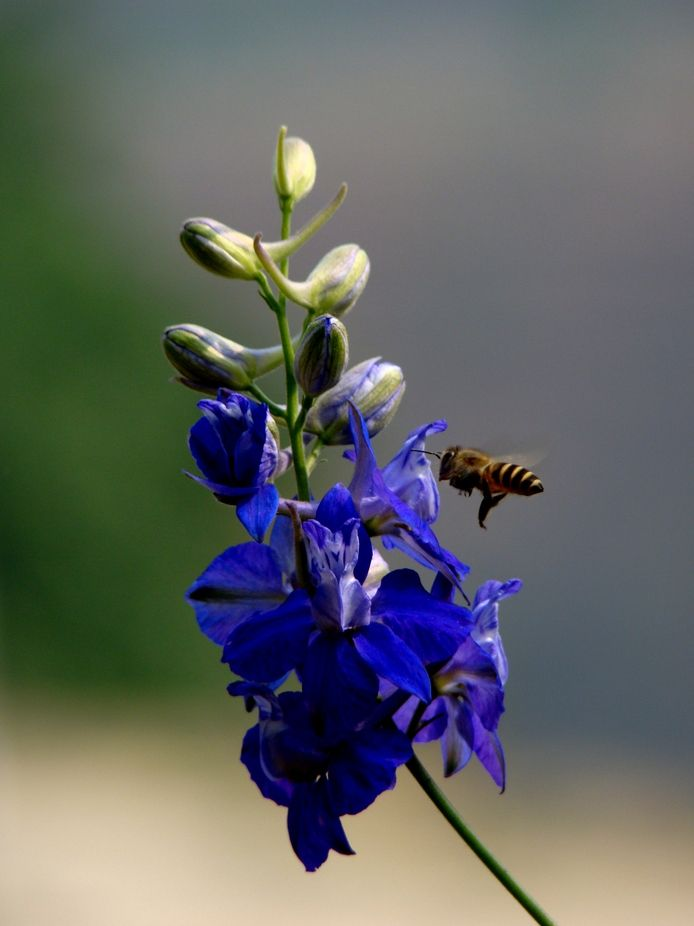 Honey Bee approaching a flower