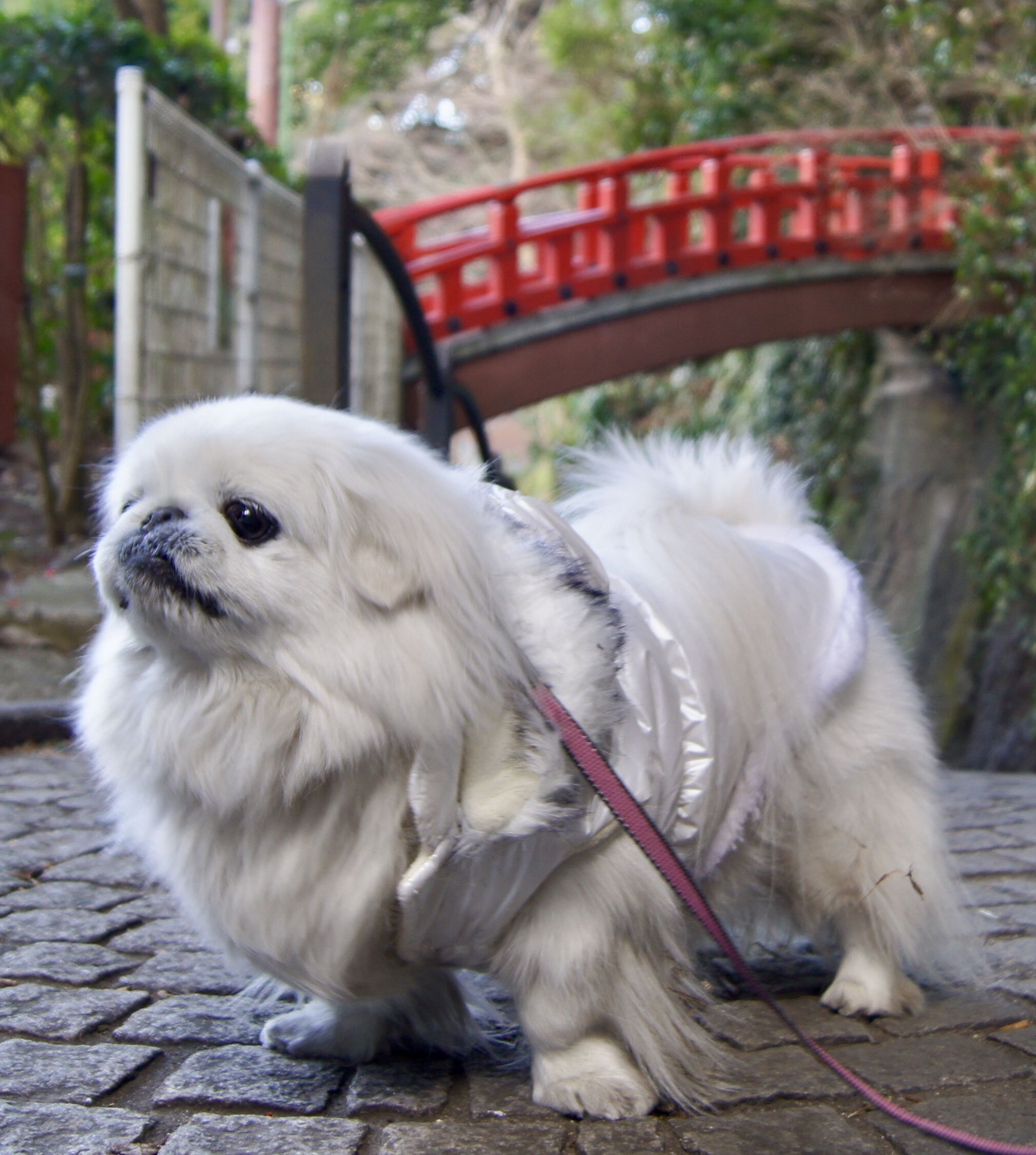 Teacup Pekingese Puppies For Sale Gauteng Ideas