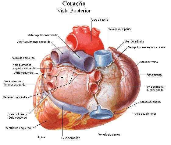 Sistema Cardiovascular Coracao Com Imagens Aula De Anatomia