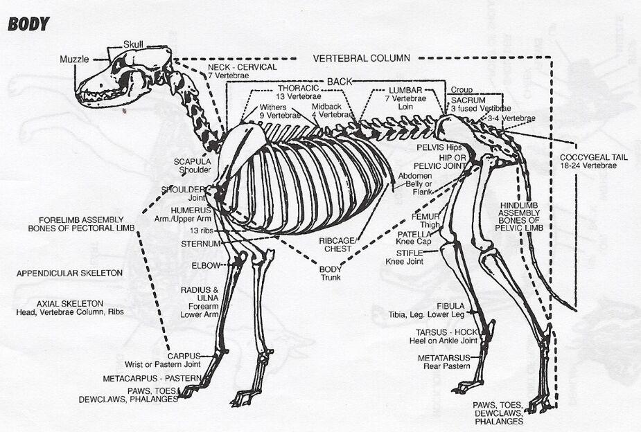 Dog bone dog skeleton anatomy - Anatomy Note - www.anatomynote.com ...