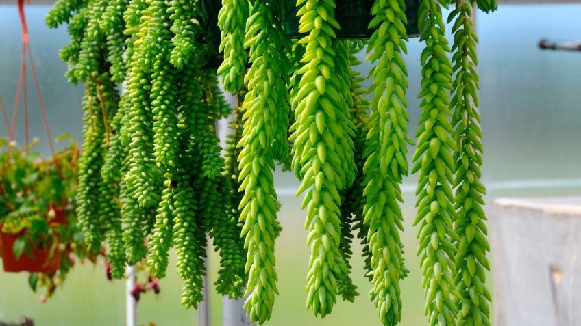 Resultado de imagen de plantas colgantes interior - Plantas colgantes interior ...