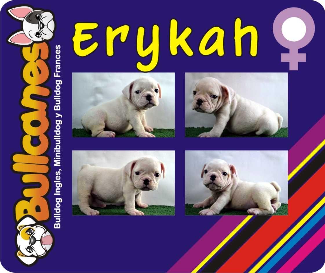 ERYKAH - Female miniature bulldog puppies for sale BULLCANES
