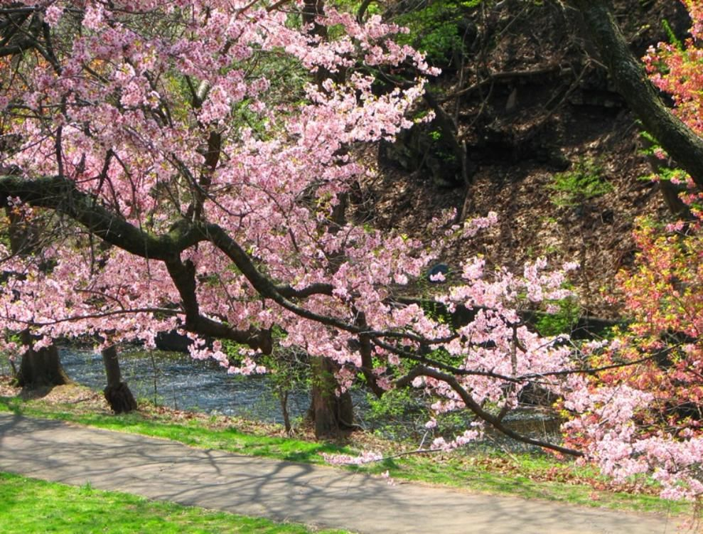 Pin By Bogdan Parcanschi On Art Cherry Blossom Wallpaper Cherry Blossom Branch Blossom Trees