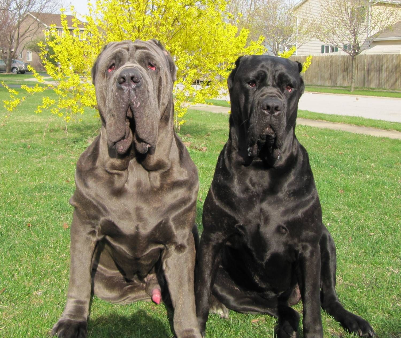 Two Neapolitan Mastiff Dogs Photo Mastiff Dog Breeds Italian Mastiff Dog Bull Mastiff Dogs