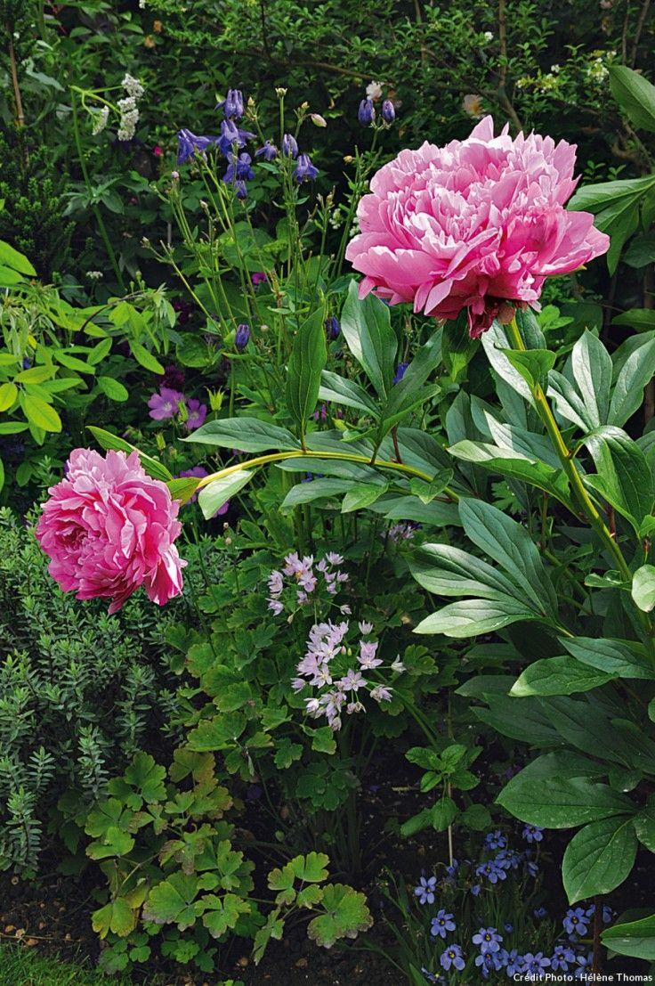 Pivoine floraison, taille et entretien en 2020 Pivoine