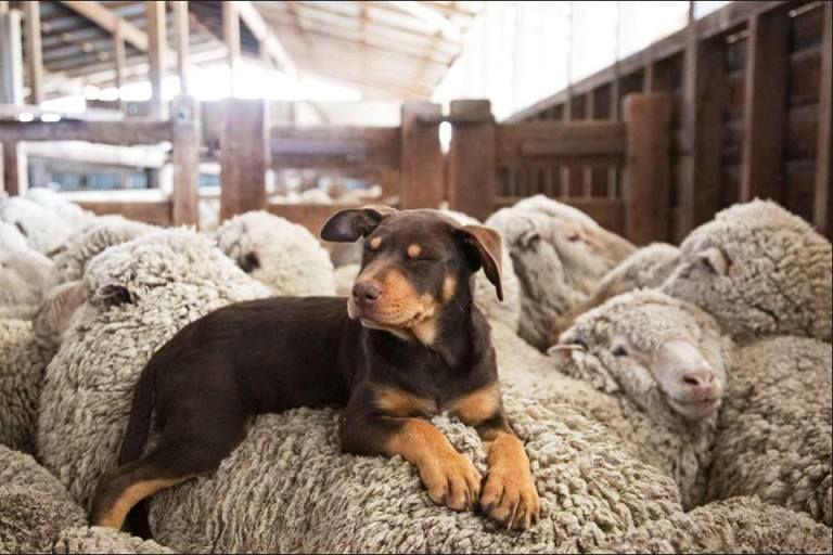 Kelpie Pup Asleep On The Sheep Australian Animals Dogs Dog