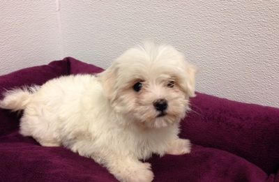 Petland Novi Petland Blog Maltese Puppies For Sale Maltese Dog For Sale Maltese Puppy