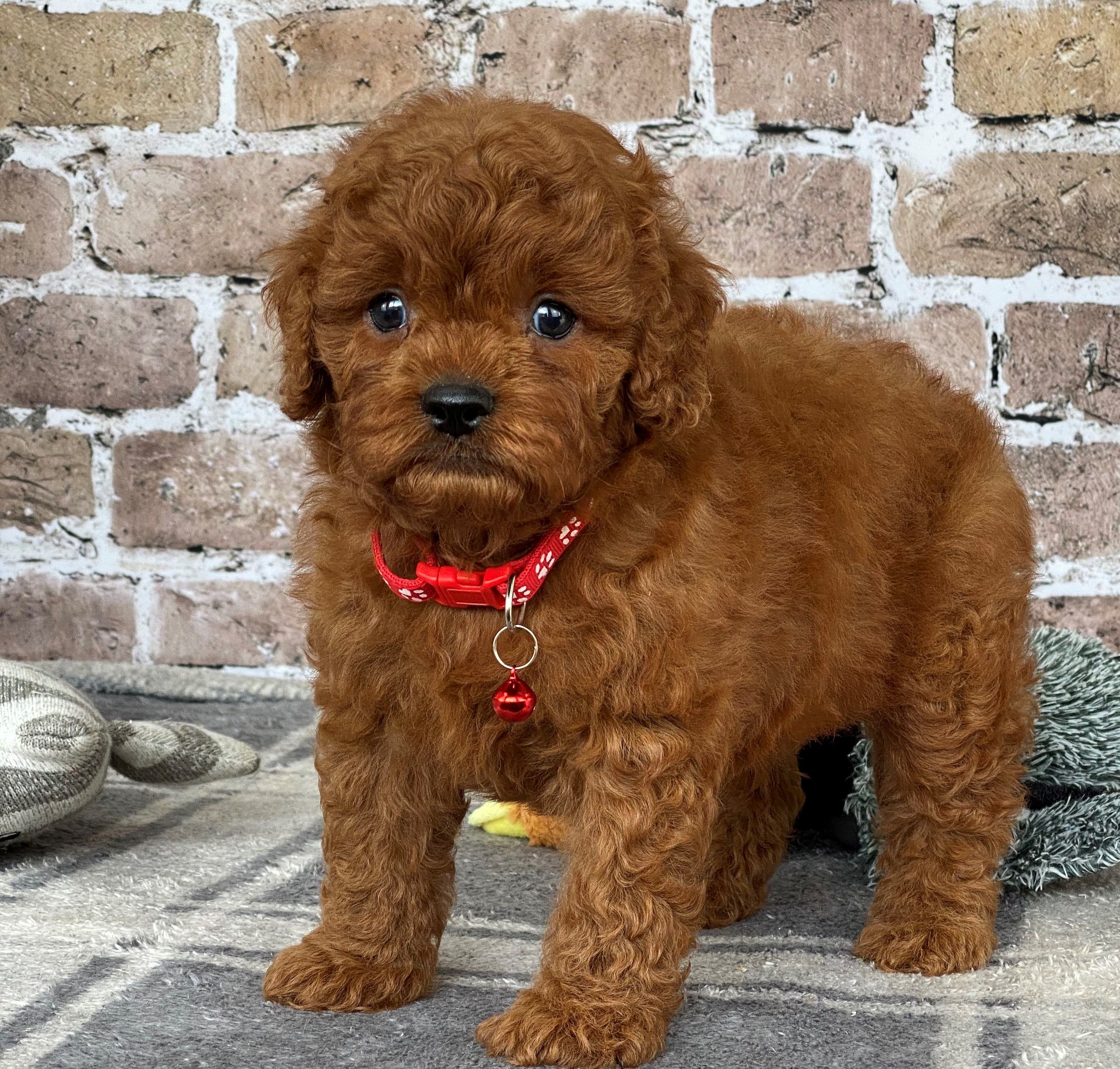 Puppies for Sale Cavapoo puppies, Puppies for sale