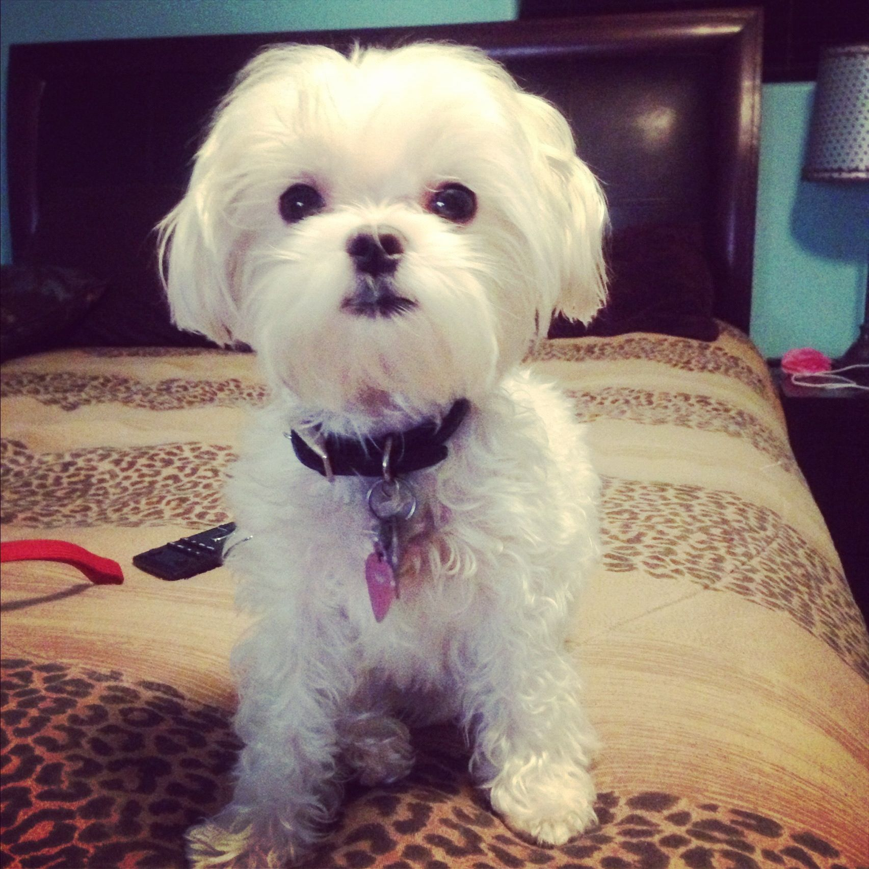 Pebbles Teacup Puppies Maltese Maltese Dogs Beautiful Puppy