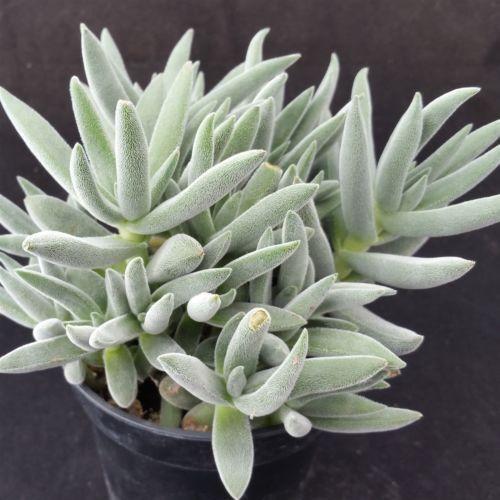 Crassula mesembryanthemoides cactus cacti succulent real live plant
