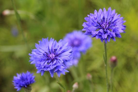 Blue Cornflowers, Flower Macro Photography, Digital Download, Nature Lover, Screensaver, Printable A